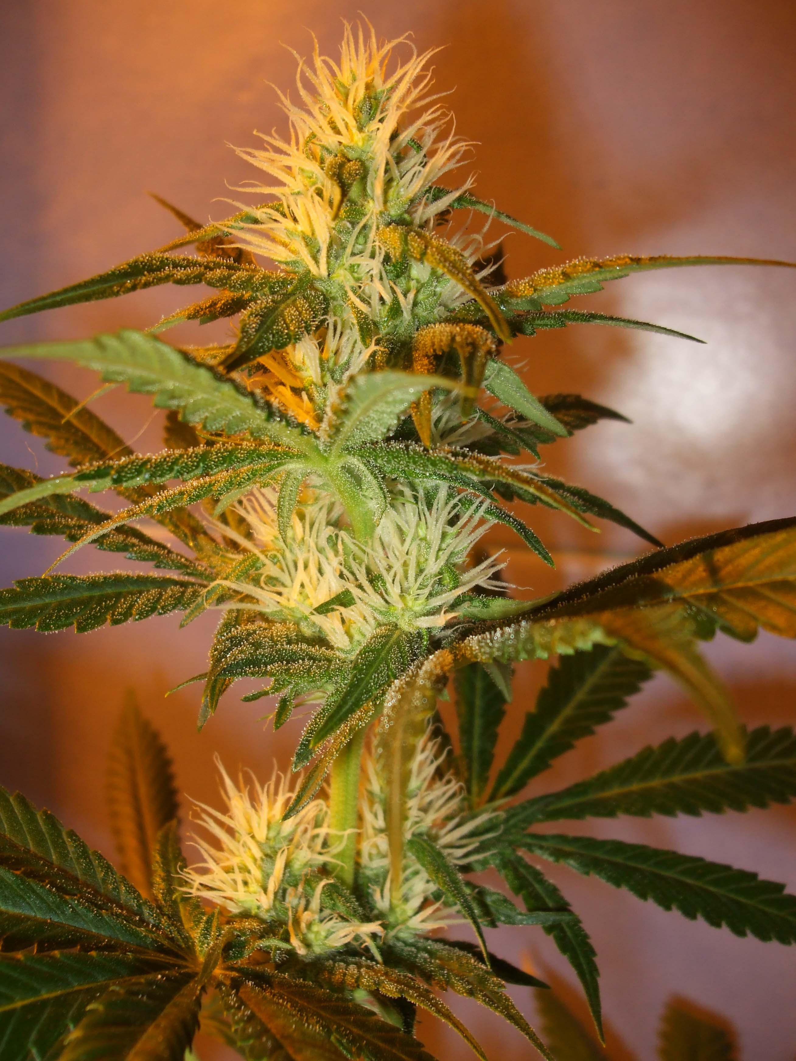 Fondos de Pantalla HD Cannabis