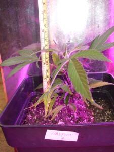 hasplant-13cm1