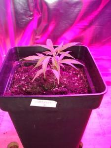 hasplant